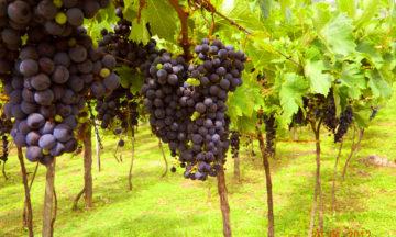 Tour du Vin: Conheça a visitação guiada da Vinícola Jolimont